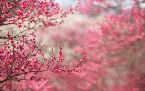 japanese-cherry-blossom-wallpaper-for-computer.jpg
